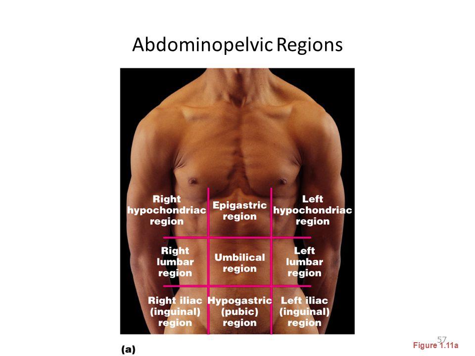 Abdominopelvic Regions 57 Figure 1.11a