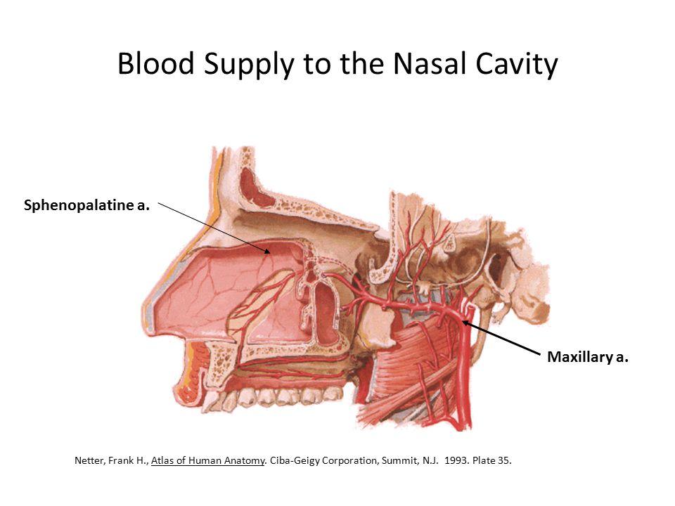 Blood Supply to the Nasal Cavity Sphenopalatine a. Maxillary a. Netter, Frank H., Atlas of Human Anatomy. Ciba-Geigy Corporation, Summit, N.J. 1993. P