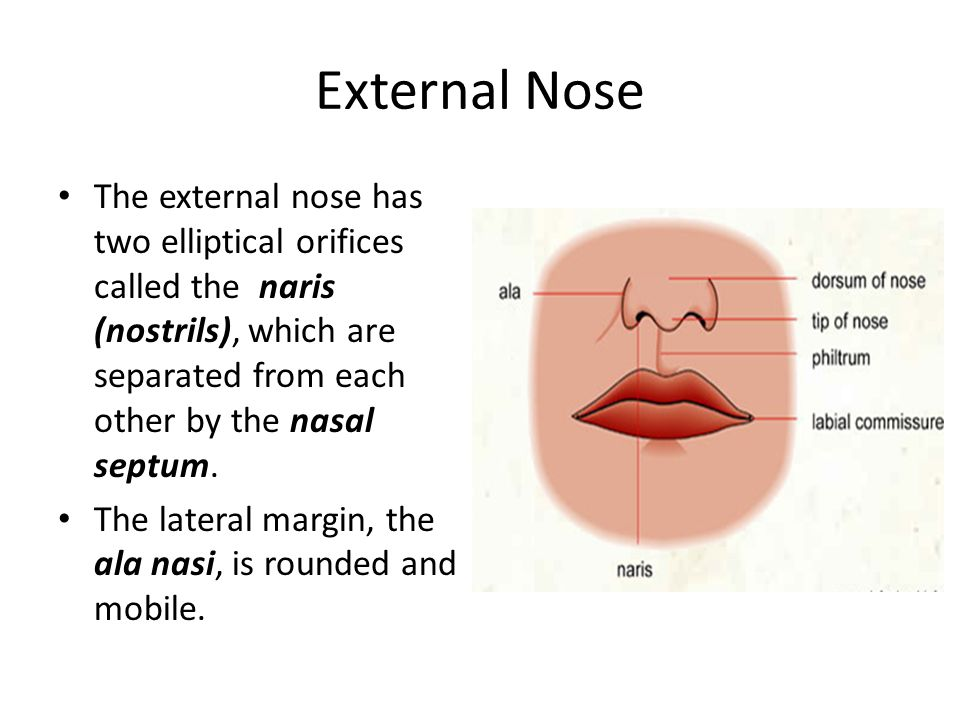 External Nose The external nose has two elliptical orifices called the naris (nostrils), which are separated from each other by the nasal septum. The