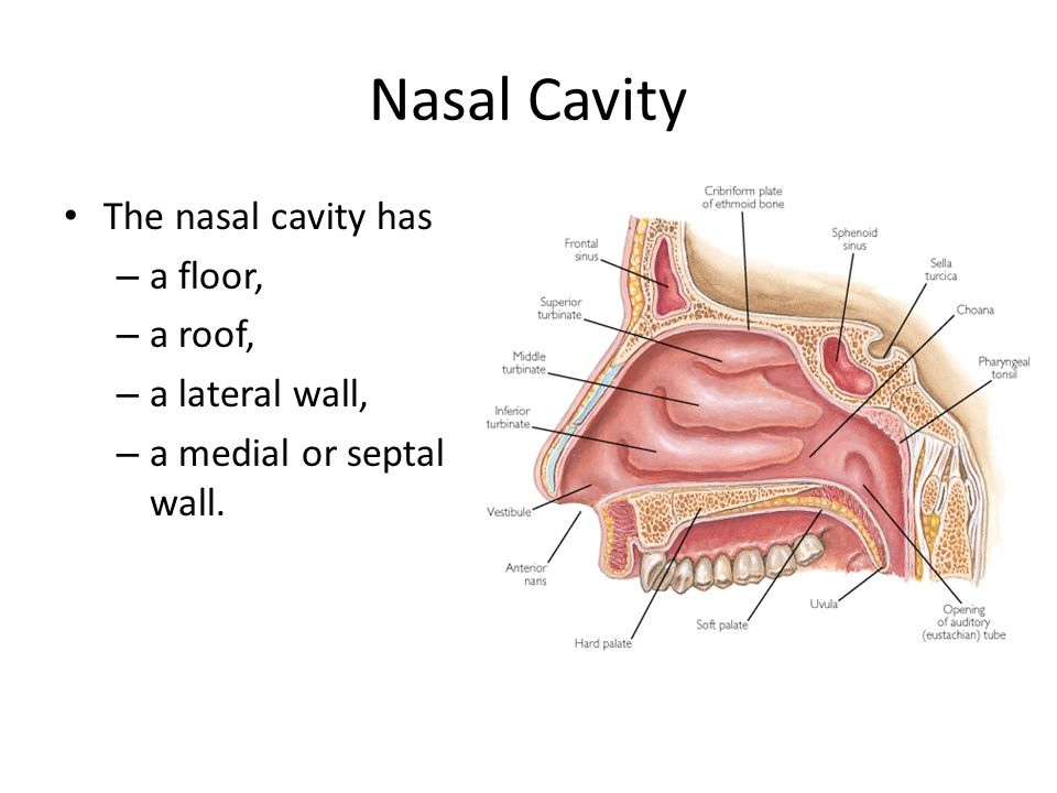 Nasal Cavity The nasal cavity has – a floor, – a roof, – a lateral wall, – a medial or septal wall.