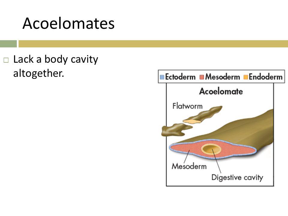 Acoelomates  Lack a body cavity altogether.