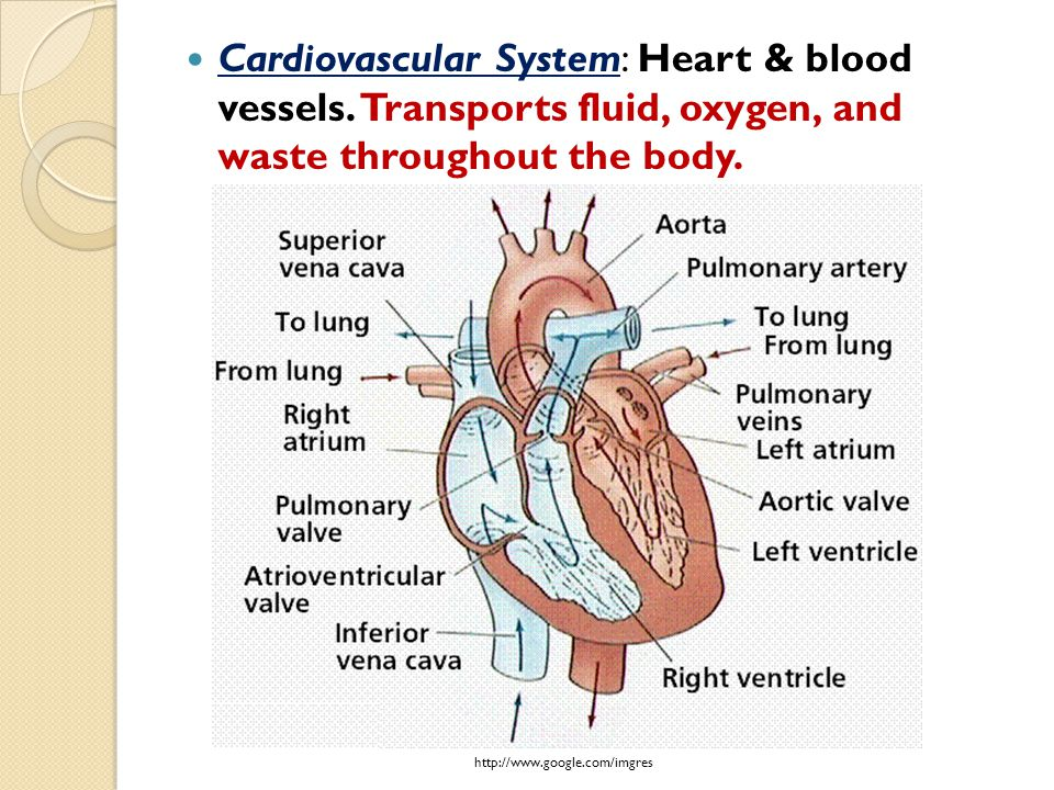 Cardiovascular System: Heart & blood vessels. Transports fluid, oxygen, and waste throughout the body. http://www.google.com/imgres