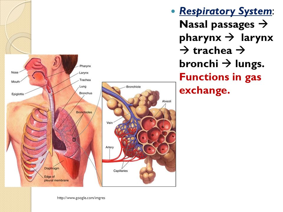 Respiratory System: Nasal passages  pharynx  larynx  trachea  bronchi  lungs. Functions in gas exchange. http://www.google.com/imgres