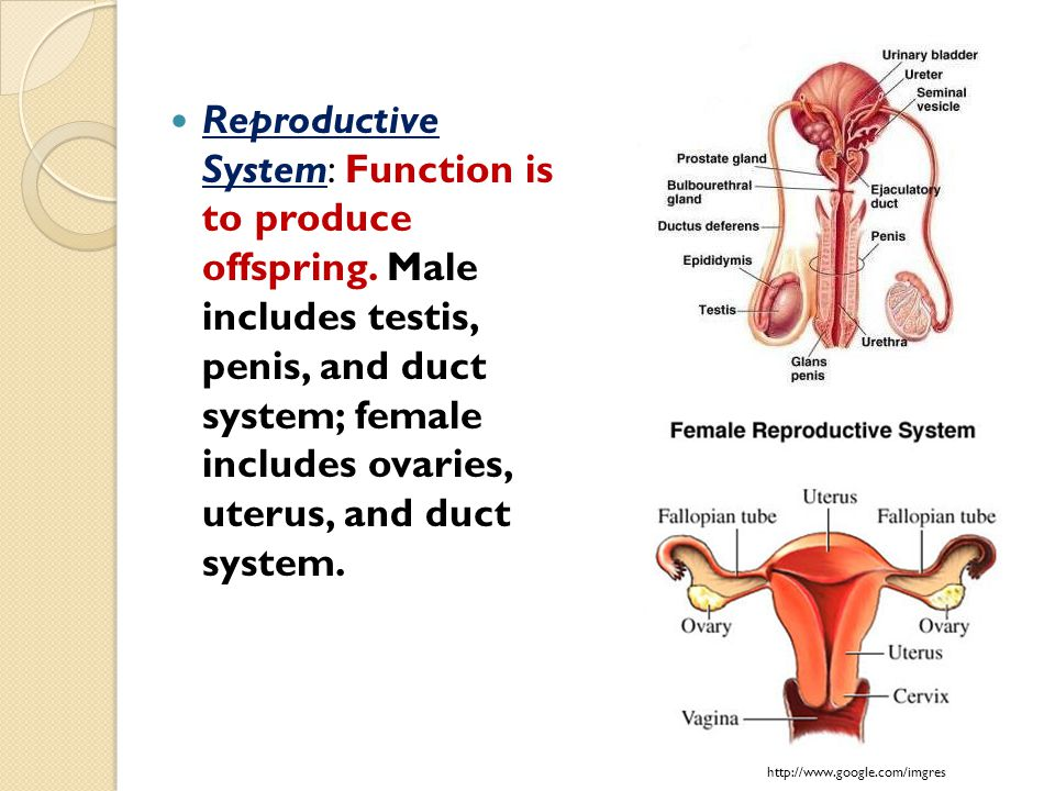 Reproductive System: Function is to produce offspring. Male includes testis, penis, and duct system; female includes ovaries, uterus, and duct system.