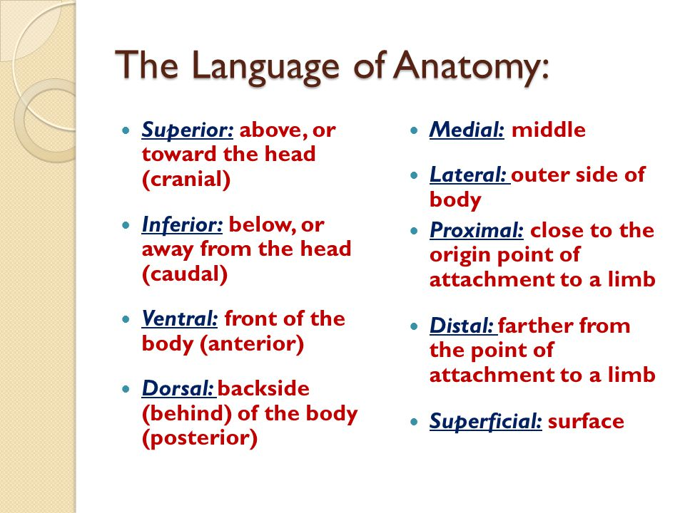The Language of Anatomy: Superior: above, or toward the head (cranial) Inferior: below, or away from the head (caudal) Ventral: front of the body (ant