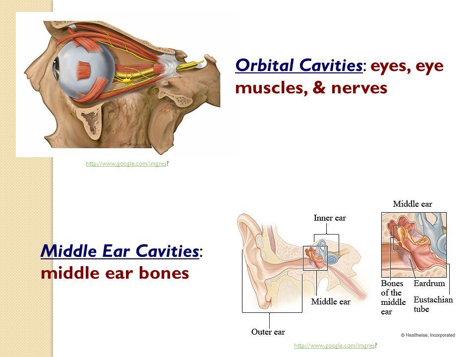 http://www.google.com/imgreshttp://www.google.com/imgres? Middle Ear Cavities: middle ear bones Orbital Cavities: eyes, eye muscles, & nerves http://w