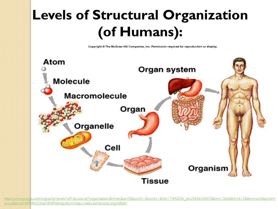 Levels of Structural Organization (of Humans): http://www.google.com/imgres?q=levels+of+structural+organization&hl=en&sa=X&qscrl=1&nord=1&rlz=1T4ADSA_