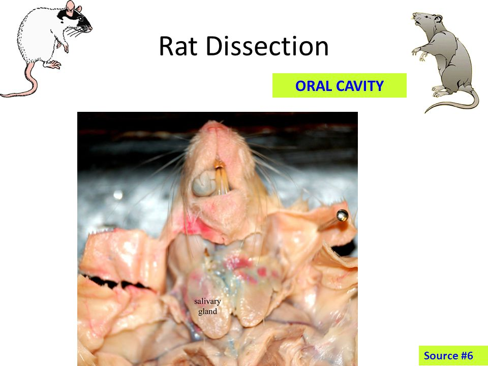 Rat Dissection CIRCULATORY ORGANS Source #1