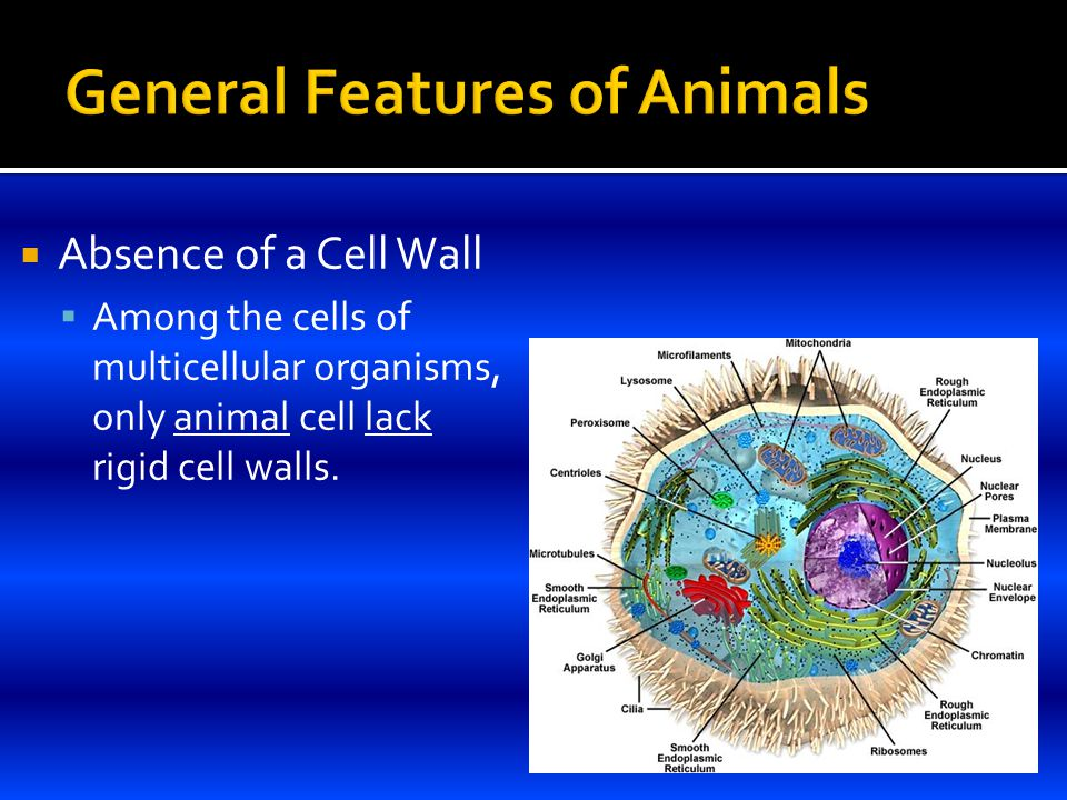 Absence of a Cell Wall  Among the cells of multicellular organisms, only animal cell lack rigid cell walls.