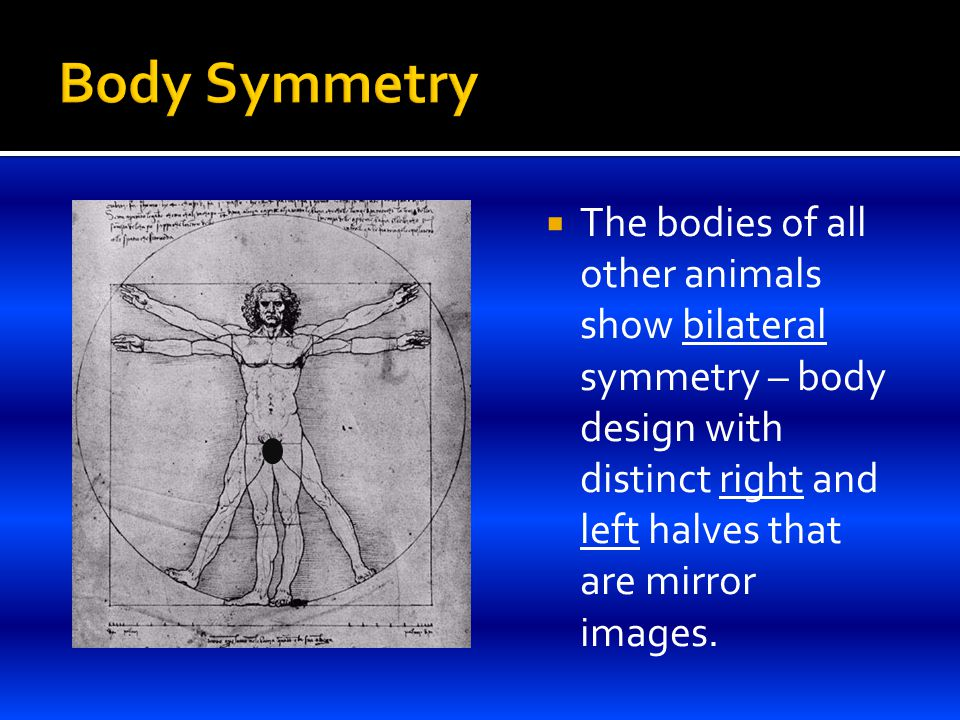  The bodies of all other animals show bilateral symmetry – body design with distinct right and left halves that are mirror images.
