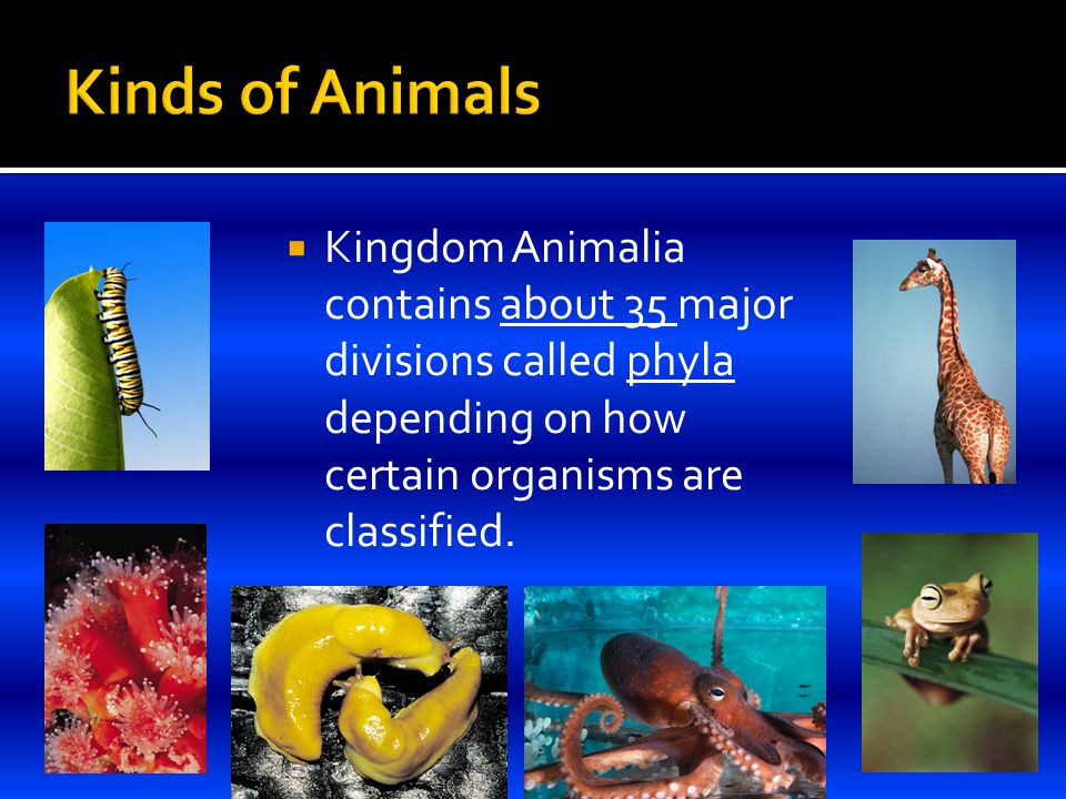  Kingdom Animalia contains about 35 major divisions called phyla depending on how certain organisms are classified.