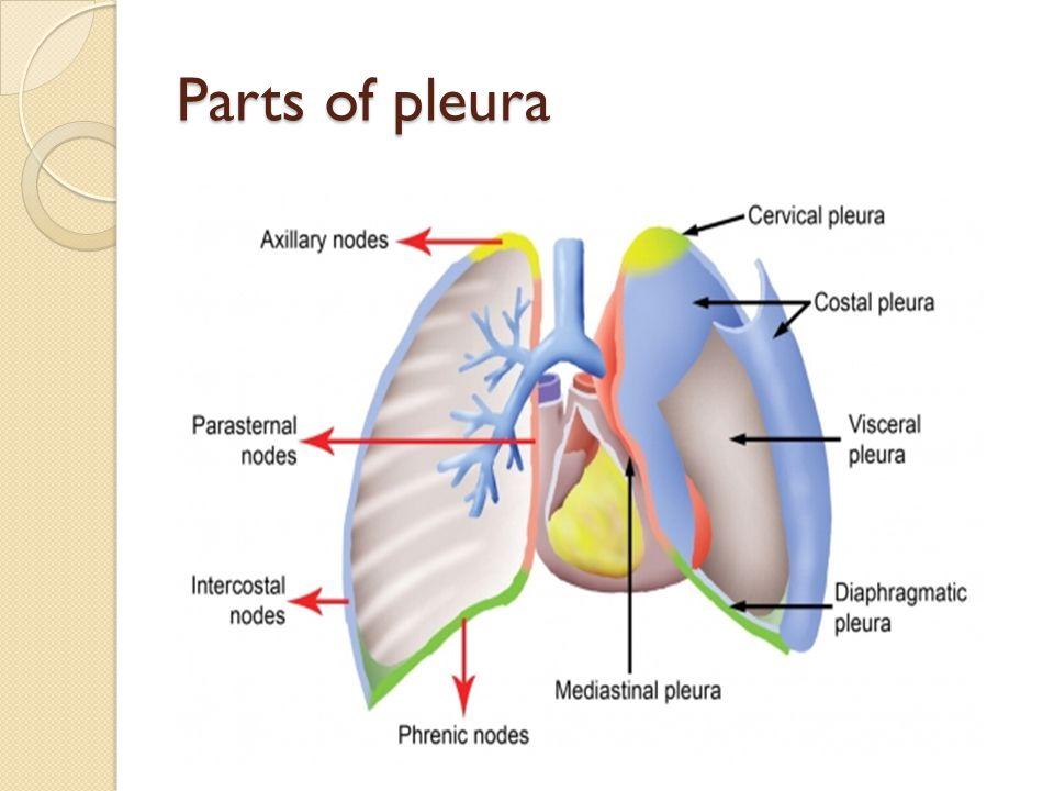 Parts of pleura