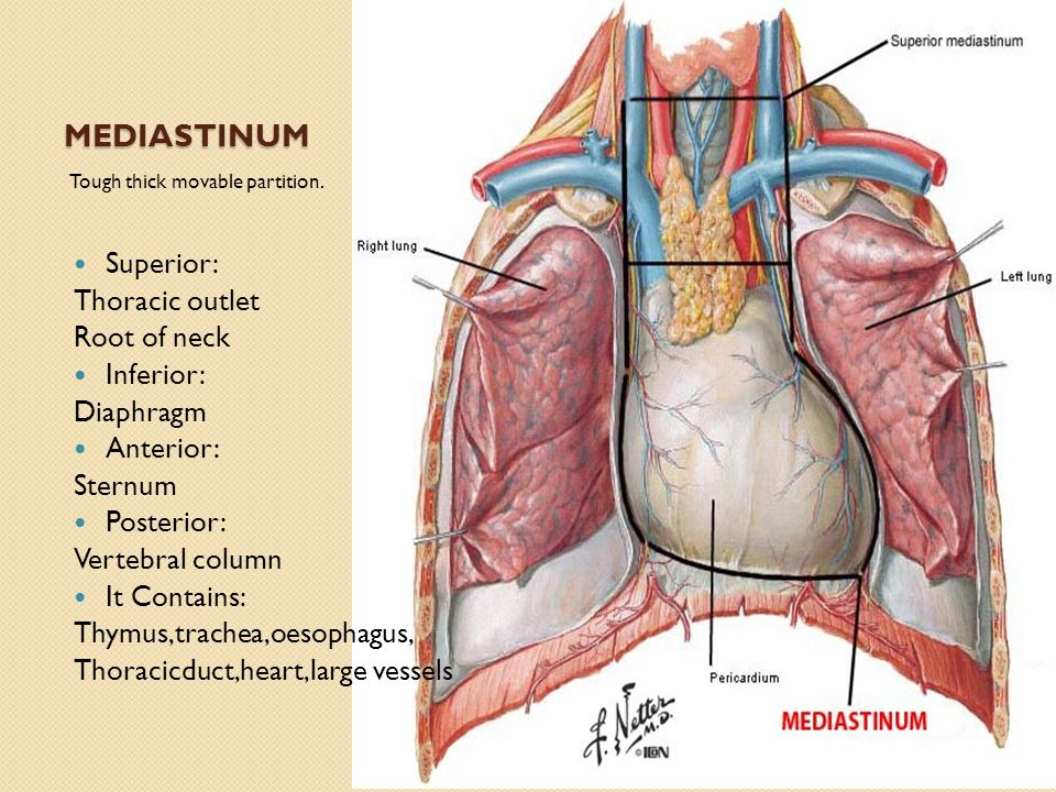 MEDIASTINUM Superior: Thoracic outlet Root of neck Inferior: Diaphragm Anterior: Sternum Posterior: Vertebral column It Contains: Thymus,trachea,oesophagus, Thoracicduct,heart,large vessels Tough thick movable partition.