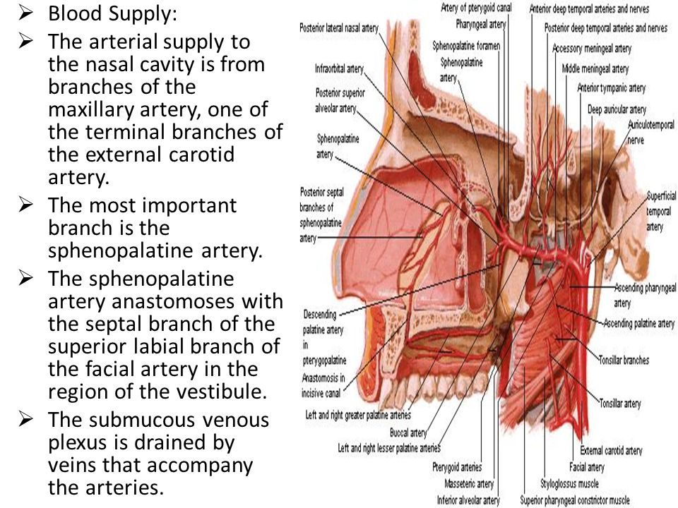  Blood Supply:  The arterial supply to the nasal cavity is from branches of the maxillary artery, one of the terminal branches of the external carot