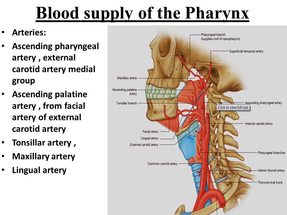 Blood supply of the Pharynx Arteries: Ascending pharyngeal artery, external carotid artery medial group Ascending palatine artery, from facial artery of external carotid artery Tonsillar artery, Maxillary artery Lingual artery