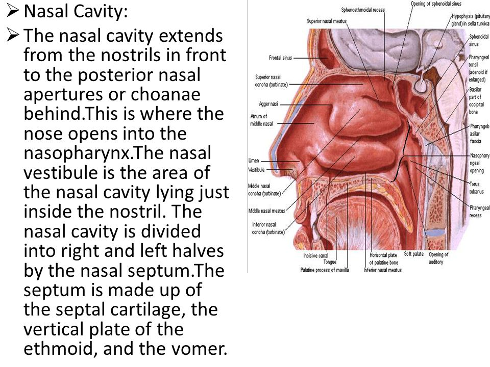  Nasal Cavity:  The nasal cavity extends from the nostrils in front to the posterior nasal apertures or choanae behind.This is where the nose opens into the nasopharynx.The nasal vestibule is the area of the nasal cavity lying just inside the nostril.