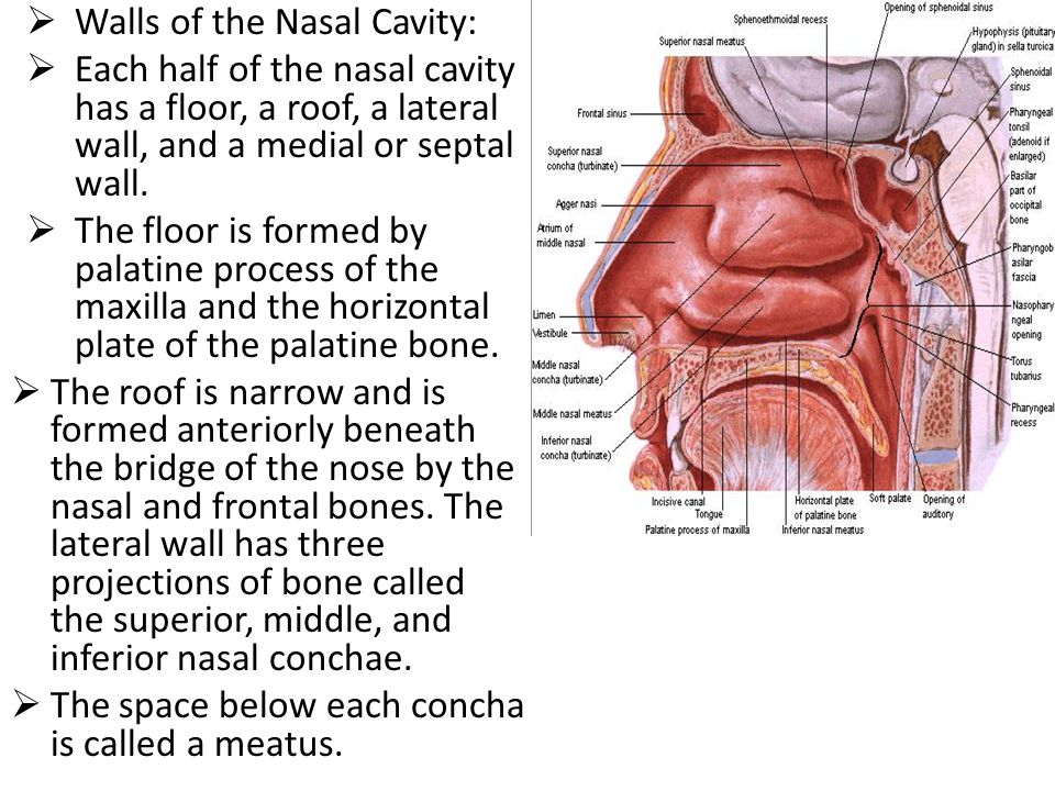  Walls of the Nasal Cavity:  Each half of the nasal cavity has a floor, a roof, a lateral wall, and a medial or septal wall.