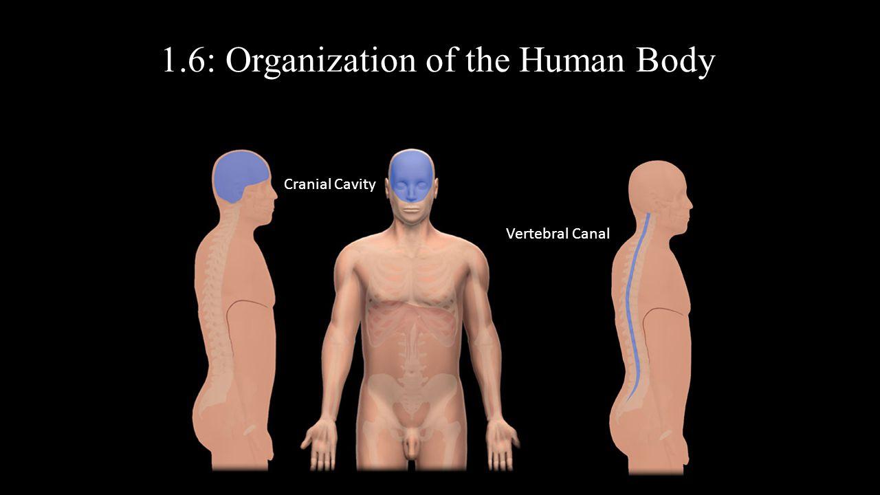1.6: Organization of the Human Body Thoracic Cavity Diaphragm Abdominopelvic Cavity Abdominal CavityPelvic CavityMediastinumPulmonary Cavity