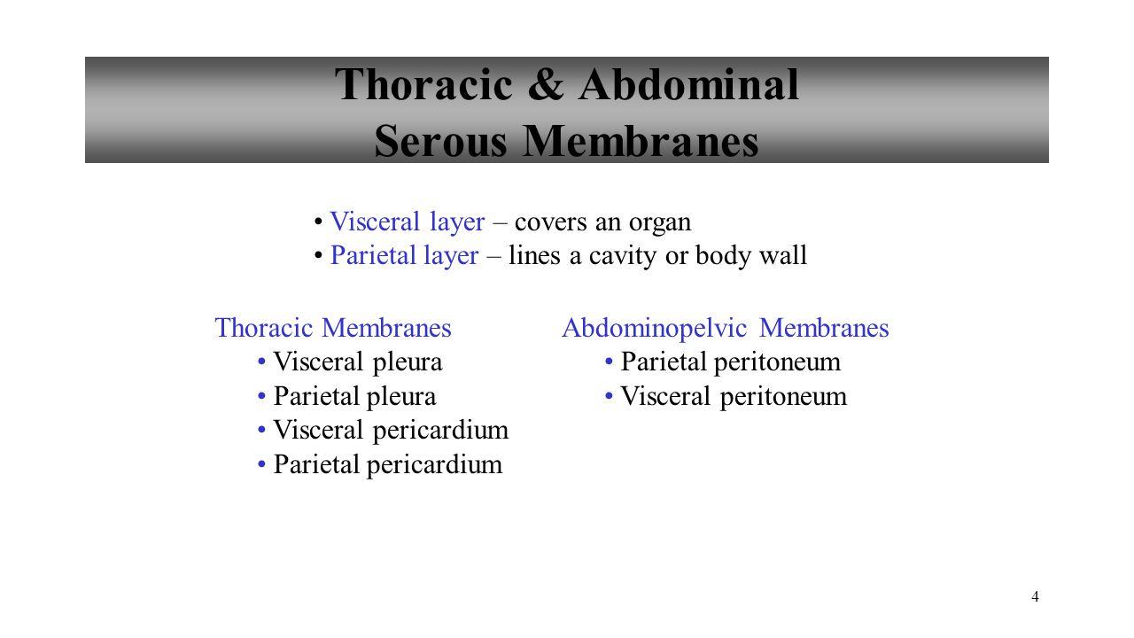 Serous Membranes 5 Copyright © The McGraw-Hill Companies, Inc.