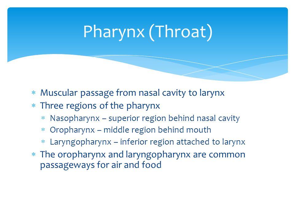Pharynx (Throat)  Muscular passage from nasal cavity to larynx  Three regions of the pharynx  Nasopharynx – superior region behind nasal cavity  O