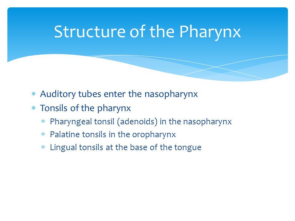  Auditory tubes enter the nasopharynx  Tonsils of the pharynx  Pharyngeal tonsil (adenoids) in the nasopharynx  Palatine tonsils in the oropharynx
