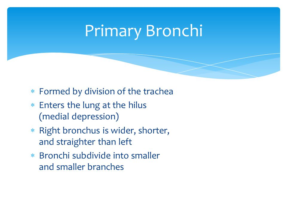  Formed by division of the trachea  Enters the lung at the hilus (medial depression)  Right bronchus is wider, shorter, and straighter than left 