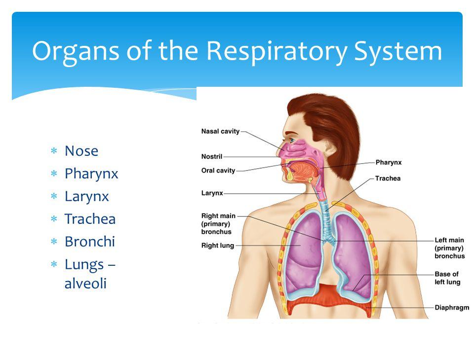  Nose  Pharynx  Larynx  Trachea  Bronchi  Lungs – alveoli Organs of the Respiratory System
