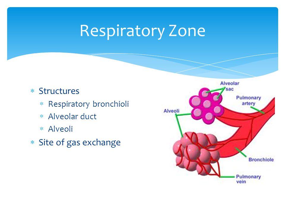 Structures  Respiratory bronchioli  Alveolar duct  Alveoli  Site of gas exchange Respiratory Zone