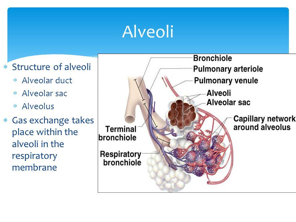  Structure of alveoli  Alveolar duct  Alveolar sac  Alveolus  Gas exchange takes place within the alveoli in the respiratory membrane Alveoli