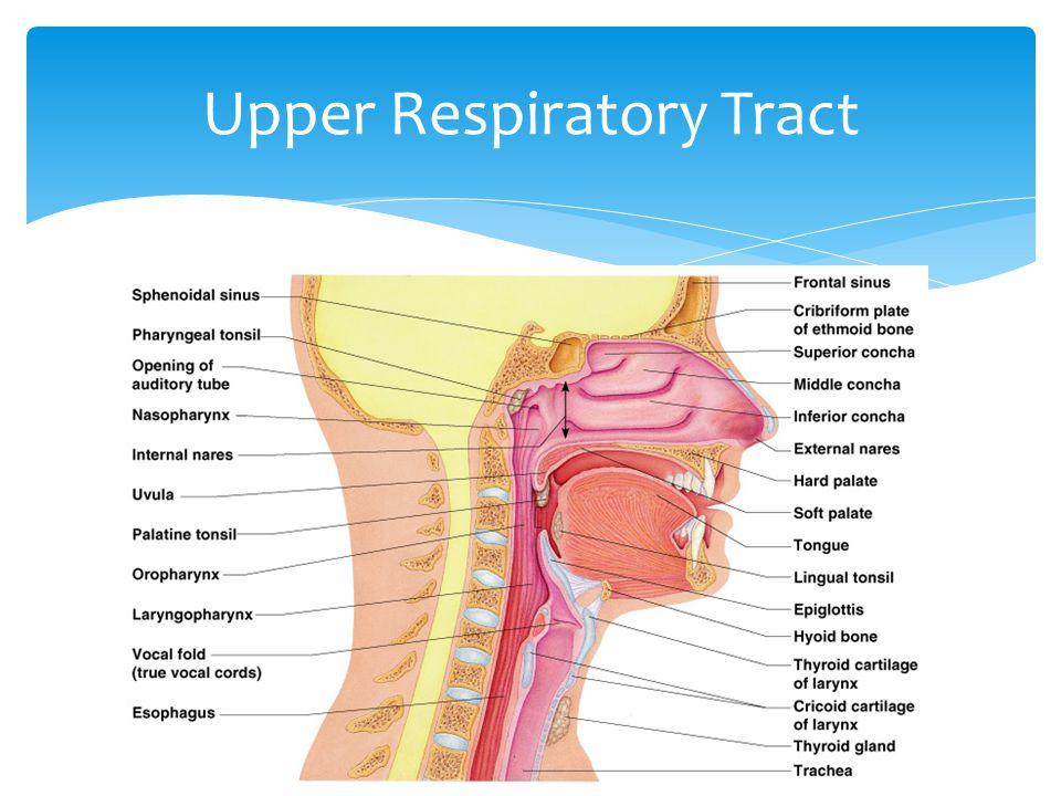 Upper Respiratory Tract