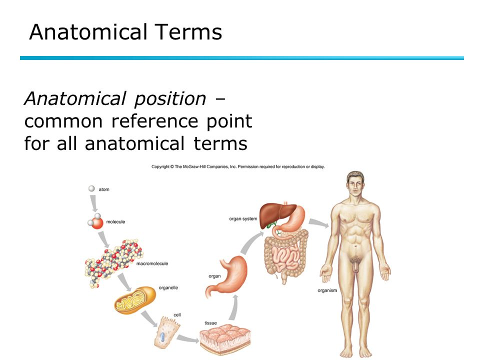 Anatomical Terms Anatomical position – common reference point for all anatomical terms