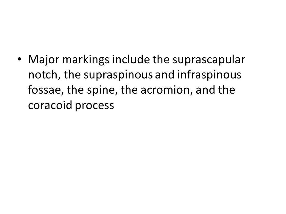 Scapulae (Shoulder Blades) Figure 7.22d