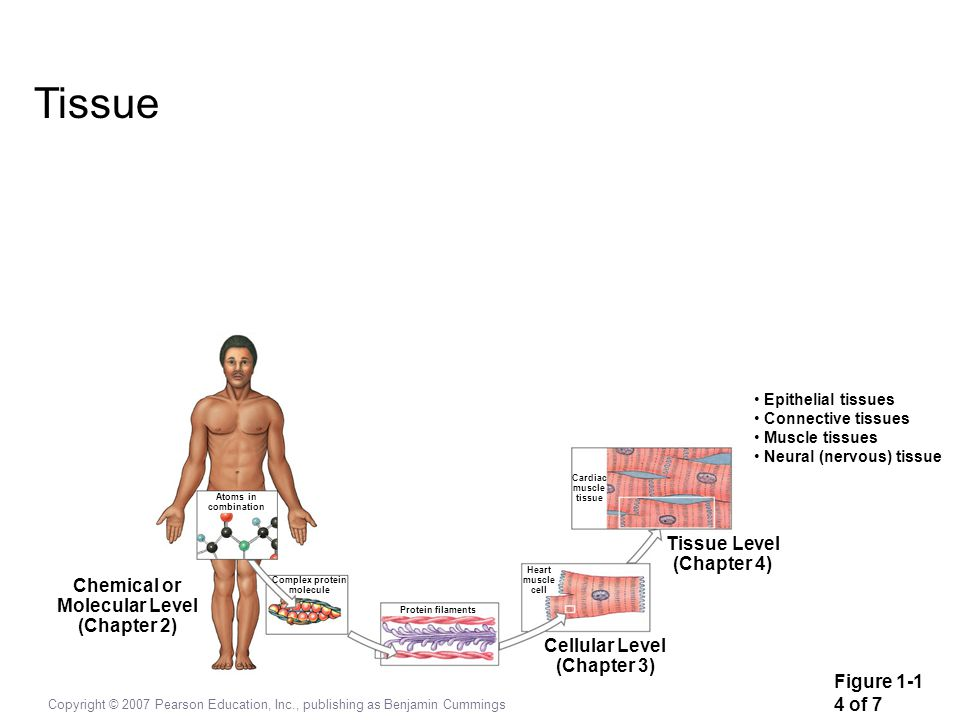 Copyright © 2007 Pearson Education, Inc., publishing as Benjamin Cummings Cardiac muscle tissue Tissue Level (Chapter 4) Cellular Level (Chapter 3) He