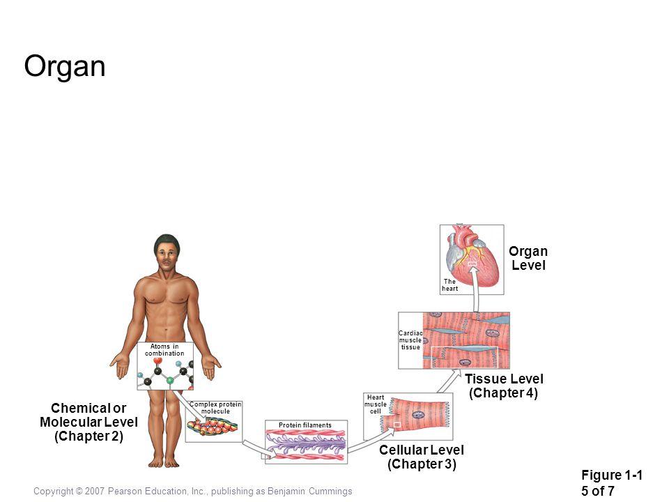 Copyright © 2007 Pearson Education, Inc., publishing as Benjamin Cummings Cardiovascular Organ Level The heart Cardiac muscle tissue Tissue Level (Cha
