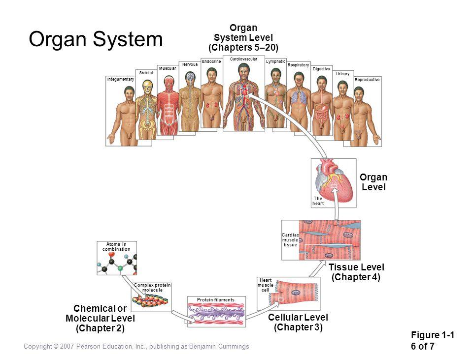 Copyright © 2007 Pearson Education, Inc., publishing as Benjamin Cummings Integumentary Skeletal Muscular Nervous Endocrine Cardiovascular Lymphatic R