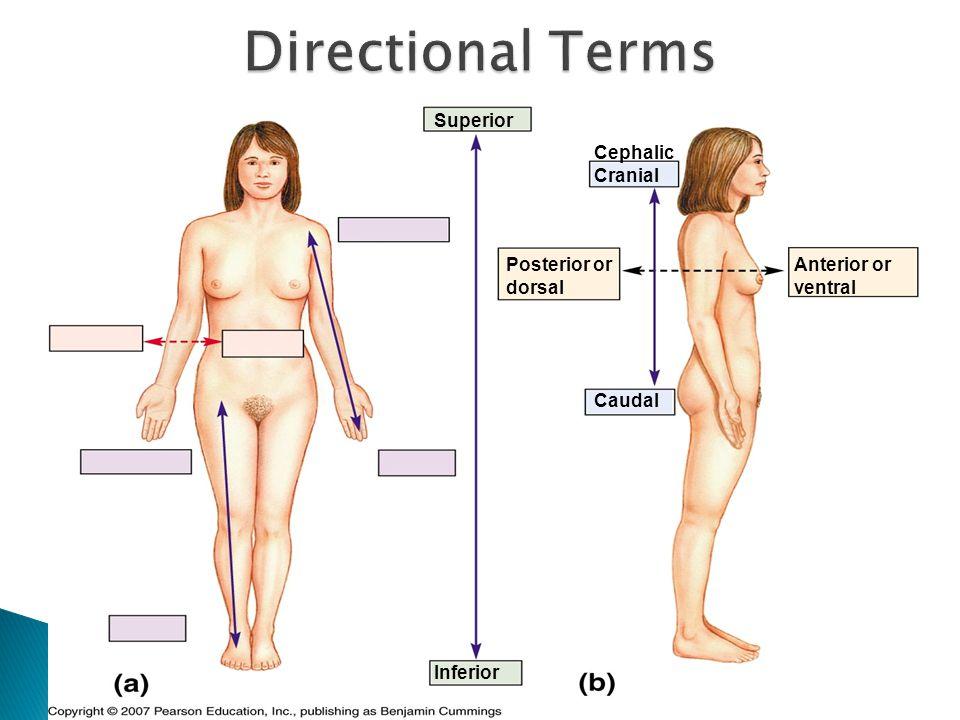 Superior Inferior Cephalic Cranial Caudal Anterior or ventral Posterior or dorsal
