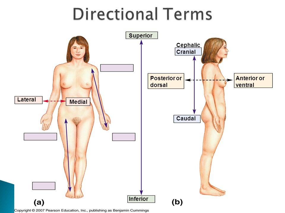 Superior Inferior Cephalic Cranial Caudal Anterior or ventral Posterior or dorsal Lateral Medial