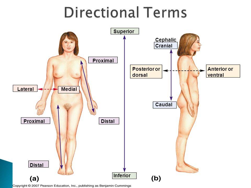 Superior Inferior Cephalic Cranial Caudal Anterior or ventral Posterior or dorsal Proximal Distal LateralMedial