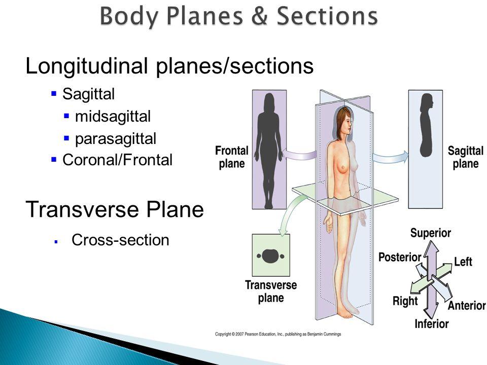  Sagittal  midsagittal  parasagittal  Coronal/Frontal  Cross-section Longitudinal planes/sections Transverse Plane