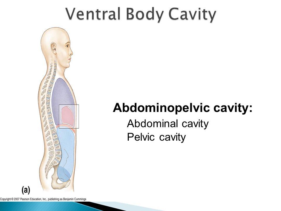 Abdominopelvic cavity: Abdominal cavity Pelvic cavity
