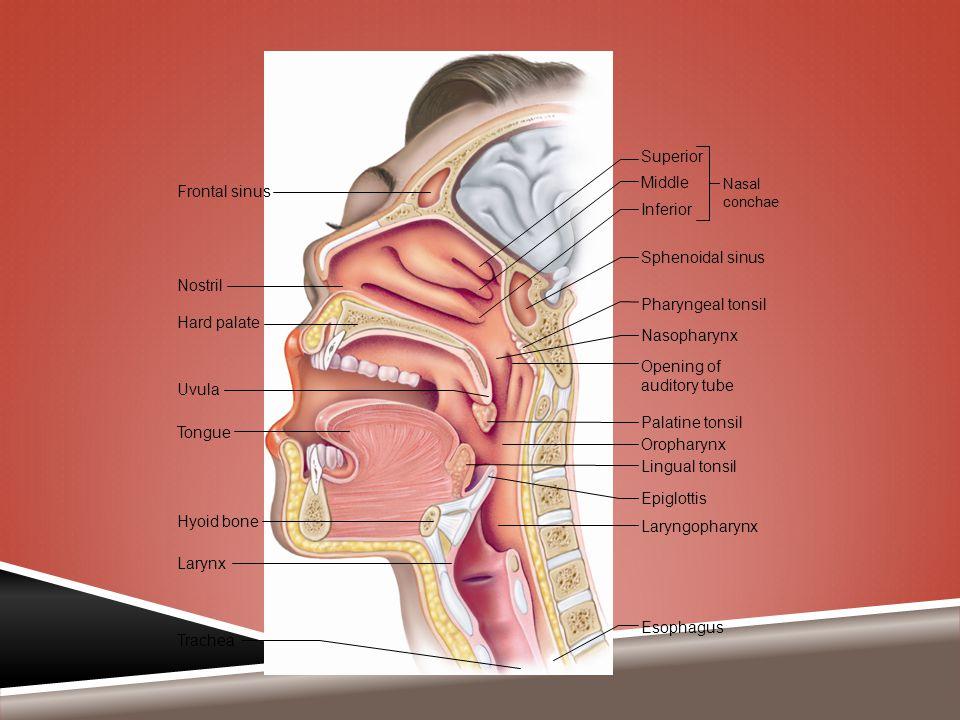 Frontal sinus Nostril Hard palate Uvula Tongue Epiglottis Hyoid bone Larynx Trachea Superior Middle Inferior Sphenoidal sinus Pharyngeal tonsil Nasoph
