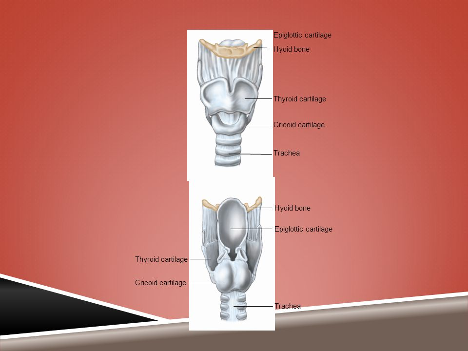 Trachea Epiglottic cartilage Hyoid bone Thyroid cartilage Cricoid cartilage Hyoid bone Epiglottic cartilage Thyroid cartilage Cricoid cartilage Trache