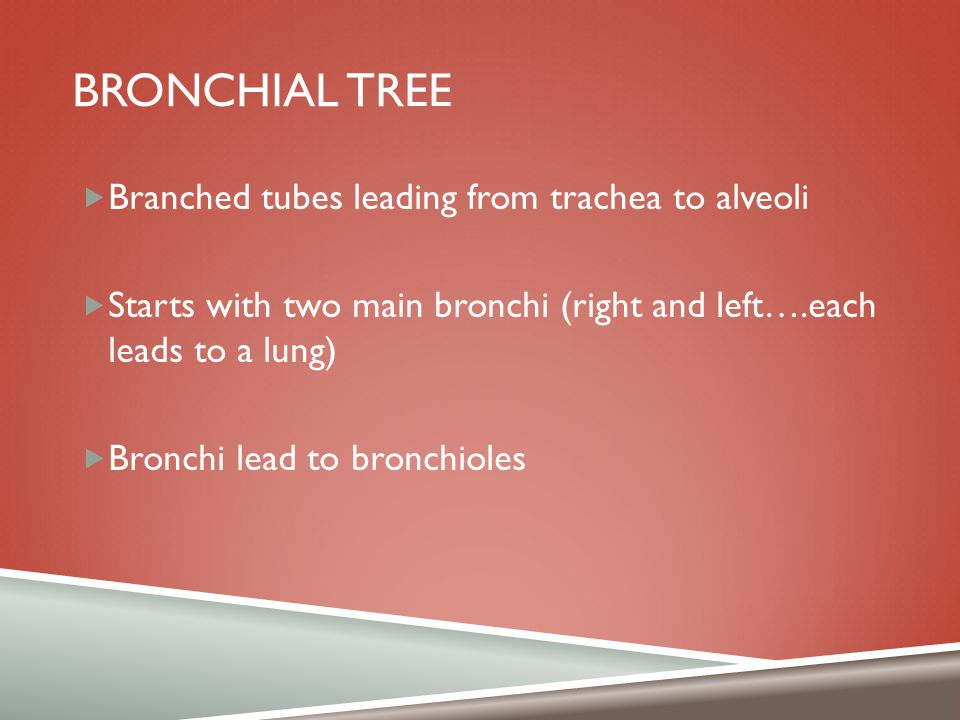 BRONCHIAL TREE  Branched tubes leading from trachea to alveoli  Starts with two main bronchi (right and left….each leads to a lung)  Bronchi lead t
