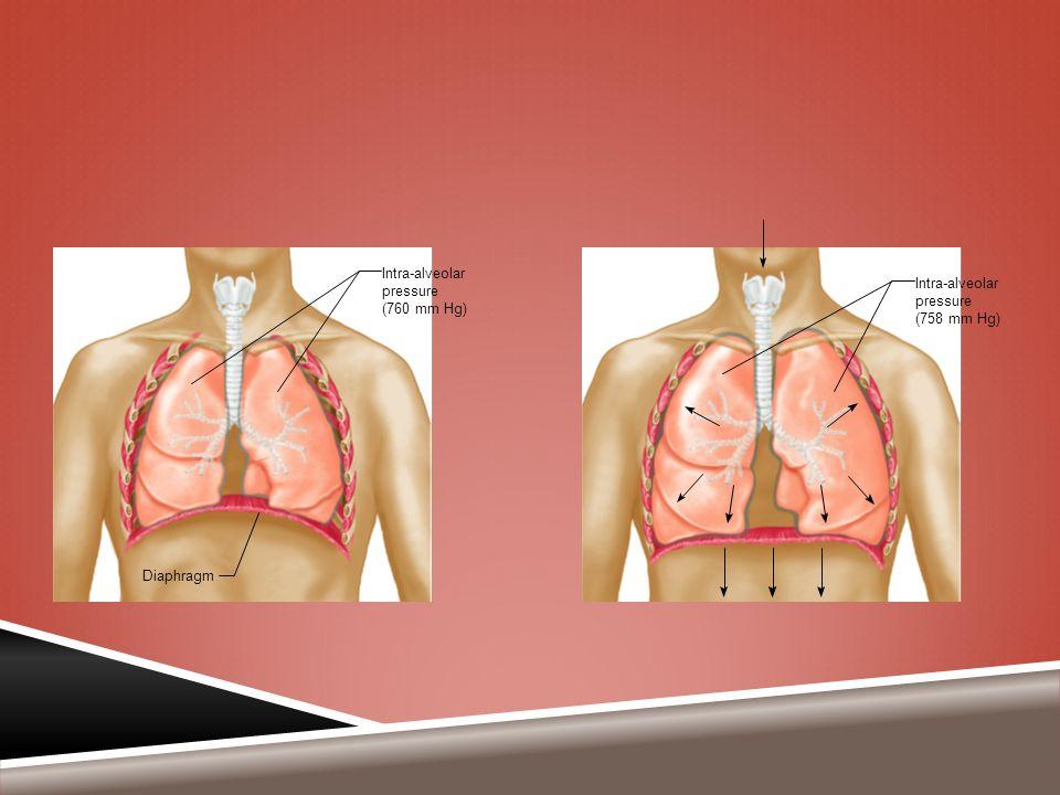 Diaphragm Intra-alveolar pressure (758 mm Hg) Intra-alveolar pressure (760 mm Hg)