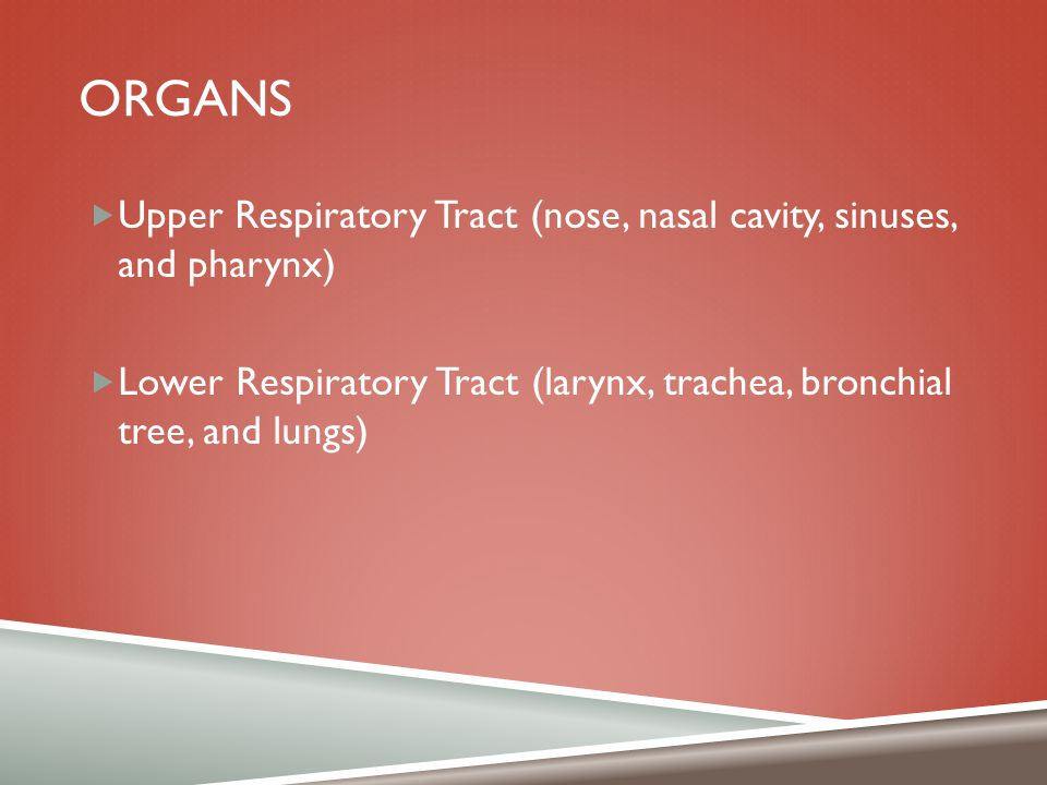 ORGANS  Upper Respiratory Tract (nose, nasal cavity, sinuses, and pharynx)  Lower Respiratory Tract (larynx, trachea, bronchial tree, and lungs)