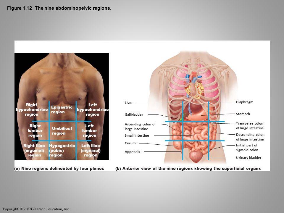 Copyright © 2010 Pearson Education, Inc. Figure 1.12 The nine abdominopelvic regions. Epigastric region Umbilical region Right lumbar region Left lumb
