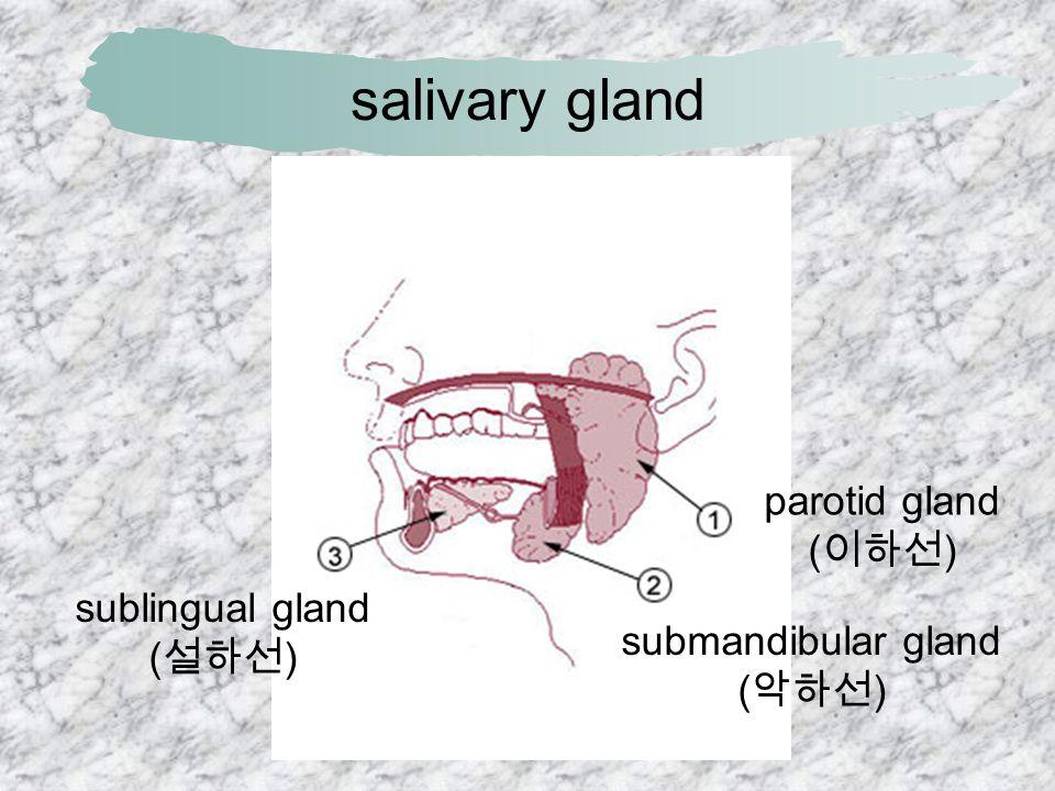 소화기계 질환 분야  salivary gland ( 타액선, 침샘 )  parotid gland ( 이하선, 耳 下腺 )  esophagus ( 식도 )  stomach ( 위 )  cardia ( 분문부, 噴門部 )  fundus ( 위저부, 胃底部 )  body ( 위체부, 胃體部 )  antrum ( 위전정부, 胃前 庭部 )  pylorus ( 유문부, 幽門部 )  esophageal varix ( 식도 정맥류 )  gastritis ( 위염 )  gastric ulcer ( 위궤양 )  (peptic) ulcer ( 소화성 궤 양 )  perforation ( 궤양천공 )  stomach cancer ( 위암 )  pyloric stenosis ( 유문부 협착 )