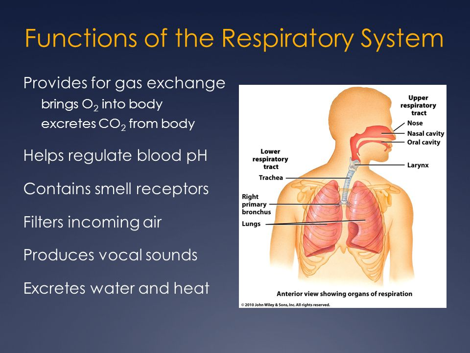 Functions of the Respiratory System Provides for gas exchange brings O 2 into body excretes CO 2 from body Helps regulate blood pH Contains smell rece