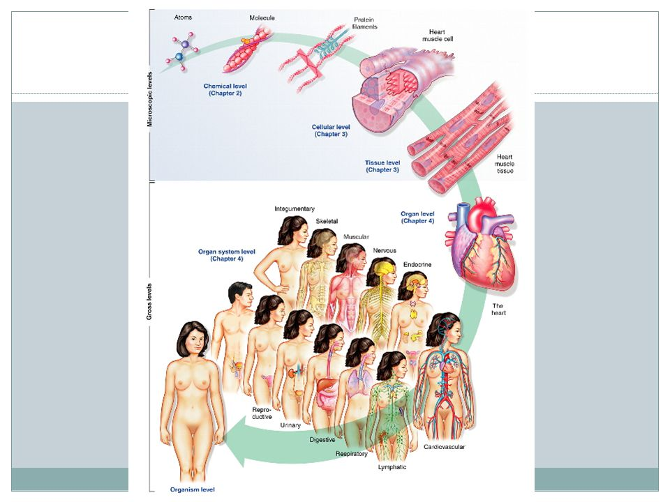 Organization of the Human Body Cells are the smallest living units of structure and function in our body.