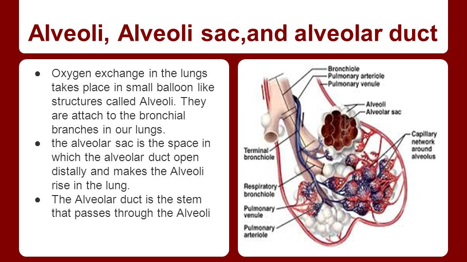 Alveoli, Alveoli sac,and alveolar duct ●Oxygen exchange in the lungs takes place in small balloon like structures called Alveoli. They are attach to t